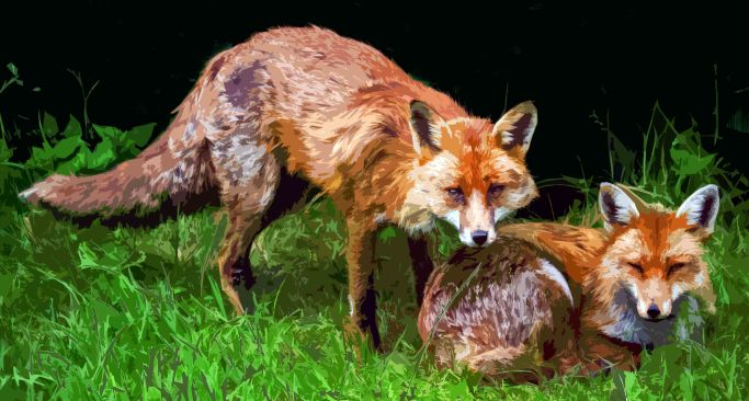 Wary foxes