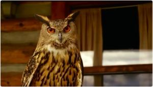 wc Longmire owl