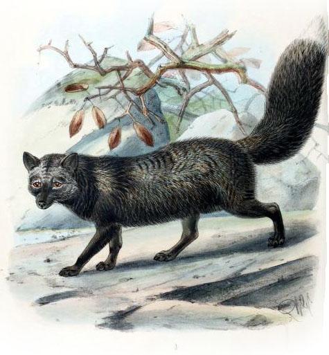 silver-fox-19th-century